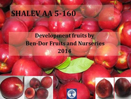 SHALEV AA 5-160 Development fruits by Ben-Dor Fruits and Nurseries 2014.