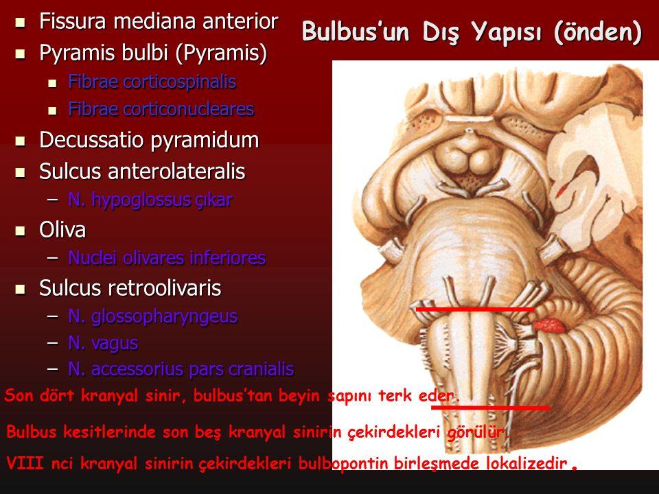 10 Bulbus'un Dış Yapısı (arkadan) Sulcus medianus posterior Sulcus medianus posterior Tuberculum gracile Tuberculum gracile –Nucleus gracilis oluşturur Tuberculum cuneatum Tuberculum cuneatum –Nucleus cuneatus oluşturur Striae medullares ventriculi quarti Striae medullares ventriculi quarti Area vestibularis inferior Area vestibularis inferior Fossa rhomboidea'nın alt Fossa rhomboidea'nın alt kısmı kısmı