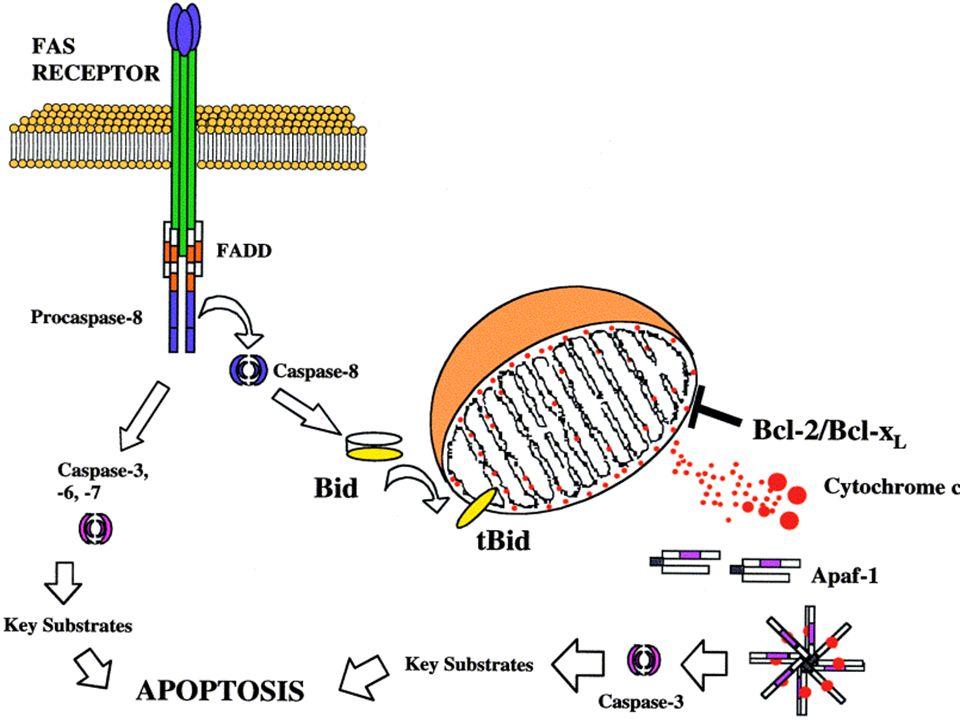 TNFR1 Fas/CD95 Mitochondrion Bax/BcL2 MPT Cyt c Apaf-1 Caspase- 9 Procaspase -9 Apoptosome Effector caspases (e.g.