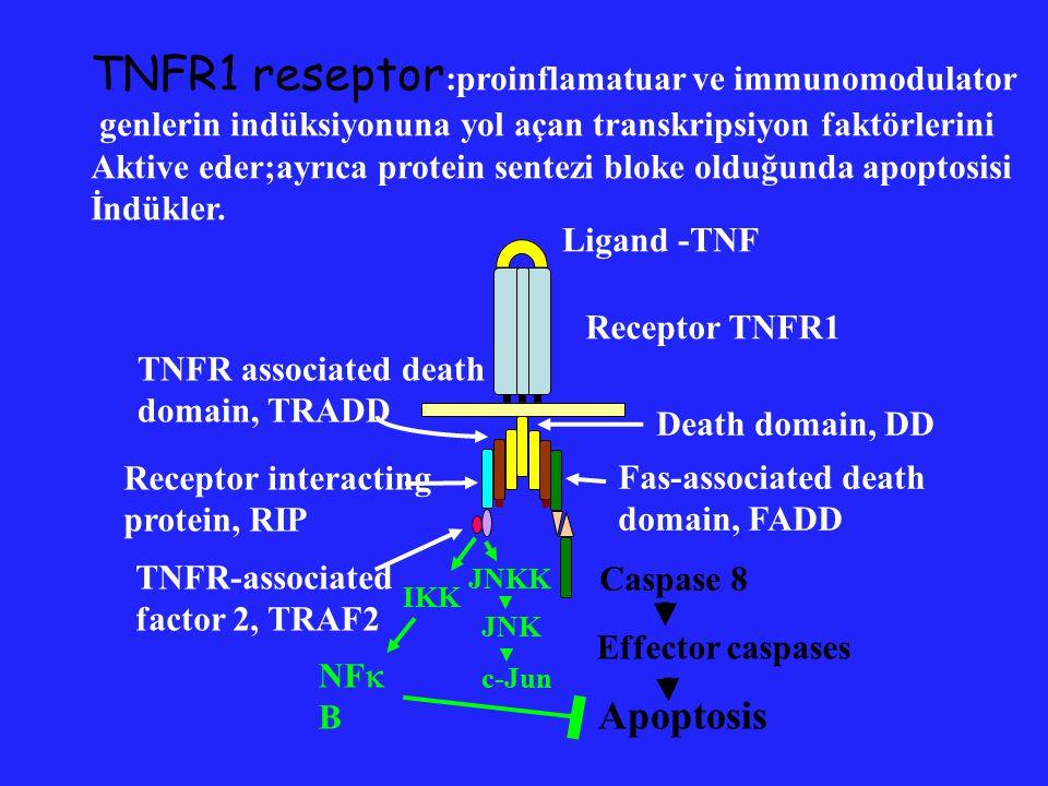 Caspase 8 Effector caspases, e.g., caspase-3 Apoptosis Ligand - CD95L Receptor CD95 Death domain, DD Fas-associated death domain, FADD Death effector domain, DED Fas reseptor (CD 95) : aktive T hücrelerin periferik Delesyonu;hedeflerin öldürülmesi(enfekte veya kanser hücresi); inflamatuar hücrelerin öldürülmesi