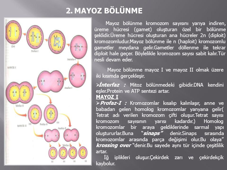 Metafaz-I : Tetratlar ekvator düzlemine dizilir.Homolog kromozomlar iğ ipliklerine bağlanır.