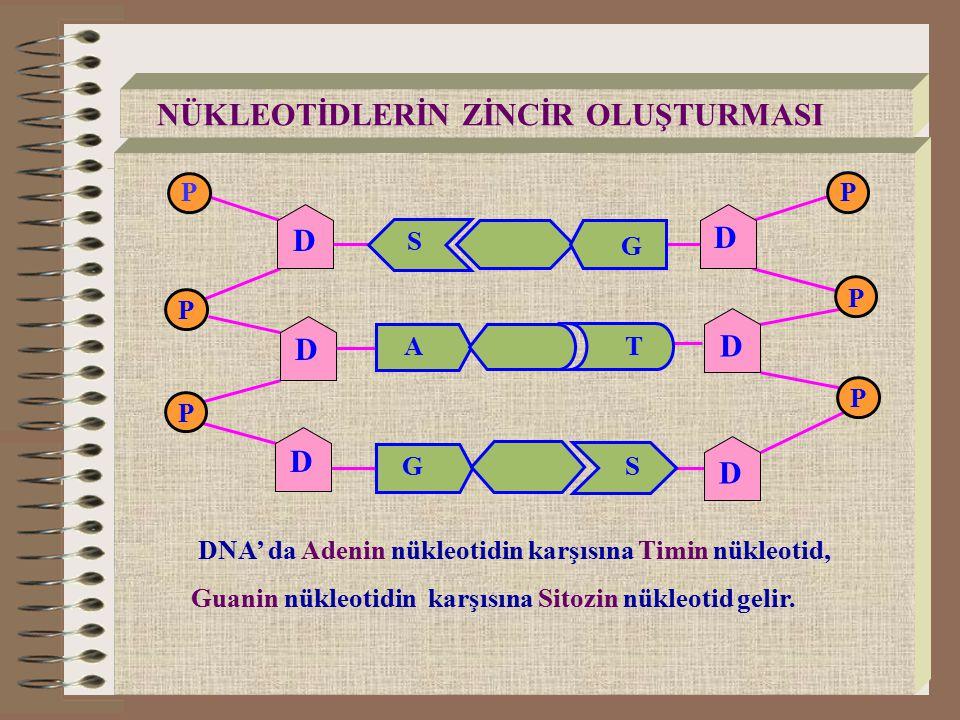 RNA NÜKLEOTİDLERİ A G S Adenin Nükleotid Urasil Nükleotid Guanin NükleotidSitozin Nükleotid U P P P P R R R R RNA, DNA'nın emriyle protein sentezine katılır.
