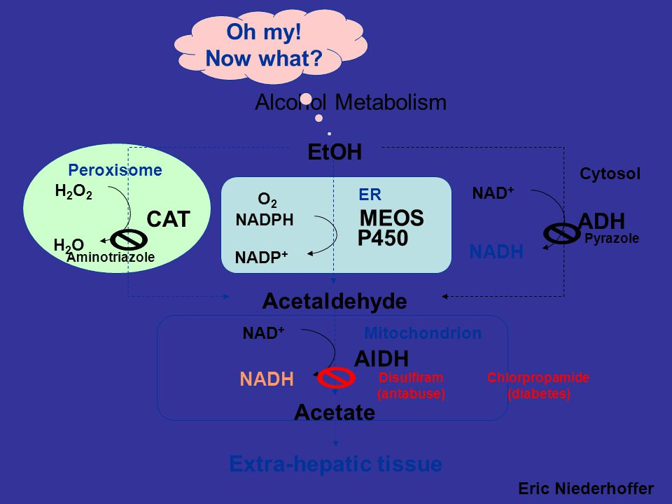 Mitochondrion Peroxisome Alcohol Metabolism Eric Niederhoffer SIU-SOM EtOH Acetaldehyde Acetate Cytosol ER ADH NAD + NADH CAT H2O2H2O2 H2OH2O AlDH NAD + NADH MEOS NADP + NADPH O2O2 P450 Extra-hepatic tissue Oh my.
