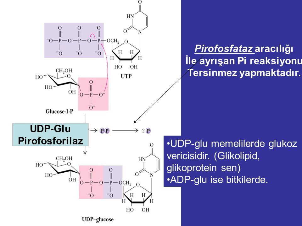 UDP-Glu Pirofosforilaz Pirofosfataz aracılığı İle ayrışan Pi reaksiyonu Tersinmez yapmaktadır.