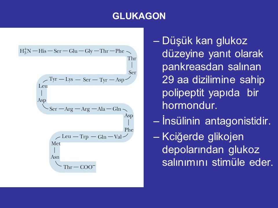 GLUKAGON –Düşük kan glukoz düzeyine yanıt olarak pankreasdan salınan 29 aa dizilimine sahip polipeptit yapıda bir hormondur.