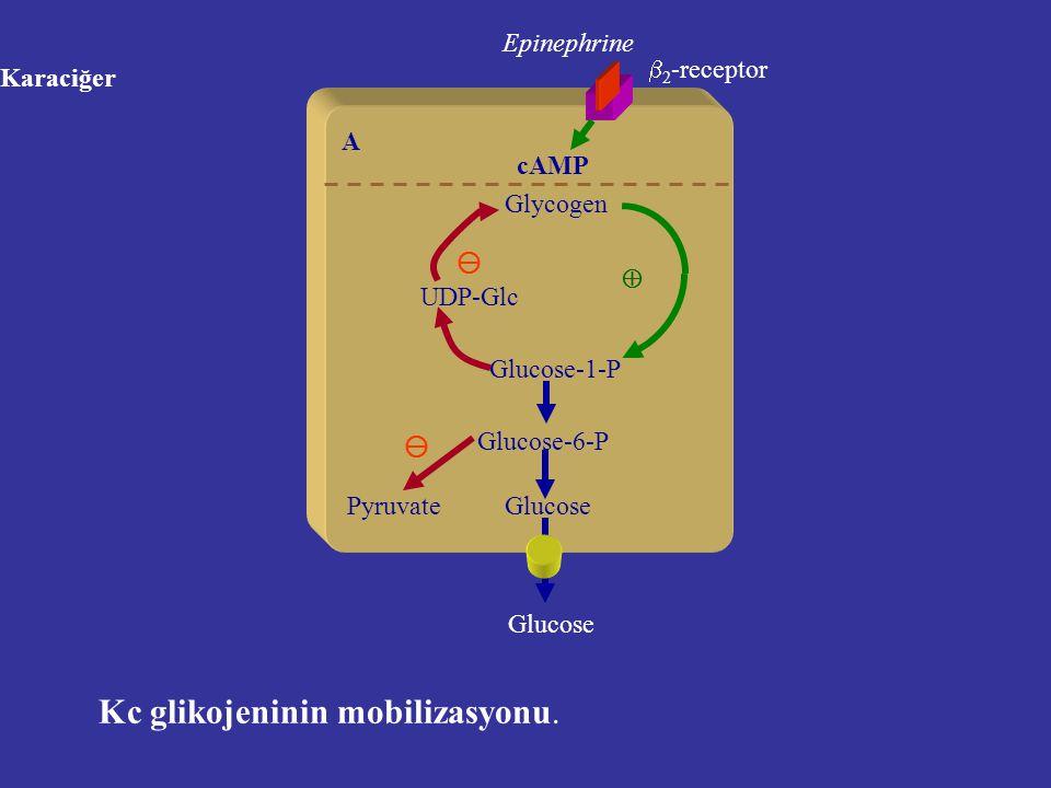 Karaciğer Glycogen Glucose-1-P Glucose-6-P Glucose Epinephrine A UDP-Glc  2 -receptor cAMP Kc glikojeninin mobilizasyonu.