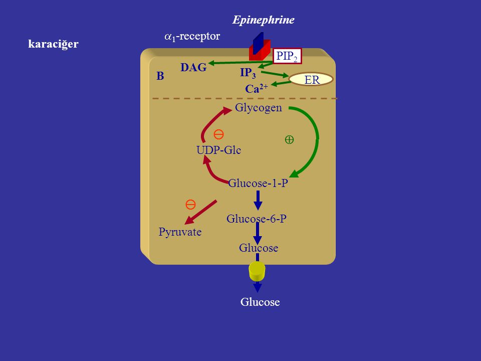 Epinephrine B ER Ca 2+ PIP 2 IP 3 DAG karaciğer Glycogen Glucose-1-P UDP-Glc    1 -receptor Glucose-6-P Glucose Pyruvate 