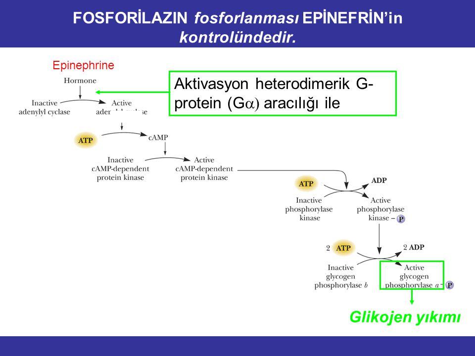 FOSFORİLAZIN fosforlanması EPİNEFRİN'in kontrolündedir.