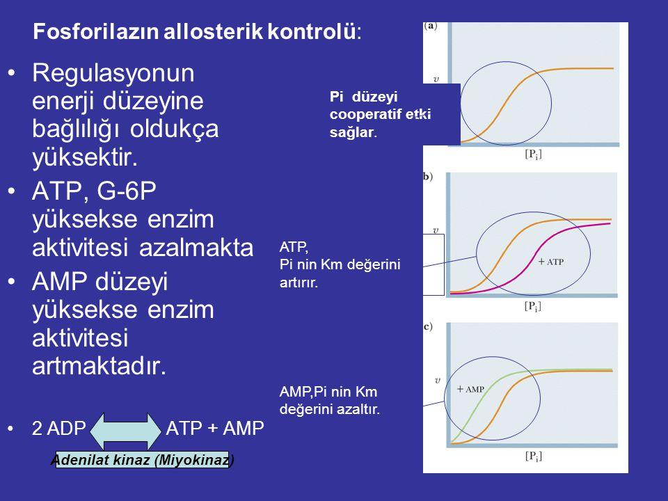 Fosforilazın allosterik kontrolü: Regulasyonun enerji düzeyine bağlılığı oldukça yüksektir.
