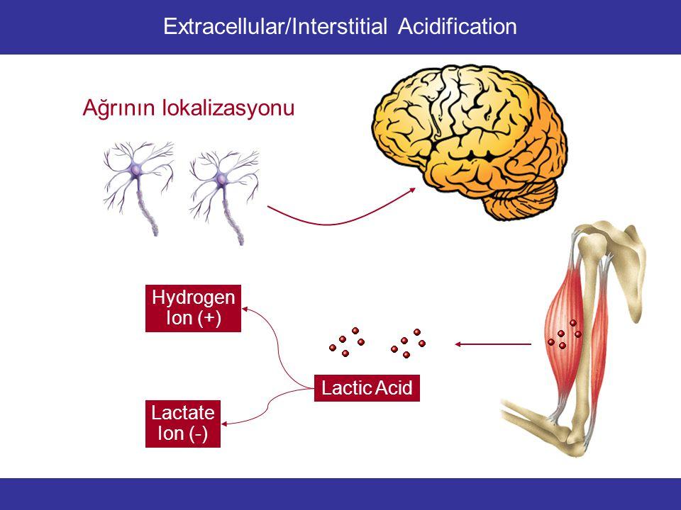 Lactic Acid Lactate Ion (-) Hydrogen Ion (+) Ağrının lokalizasyonu Extracellular/Interstitial Acidification