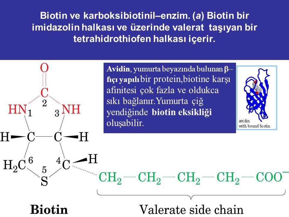 Biotin ve karboksibiotinil–enzim.