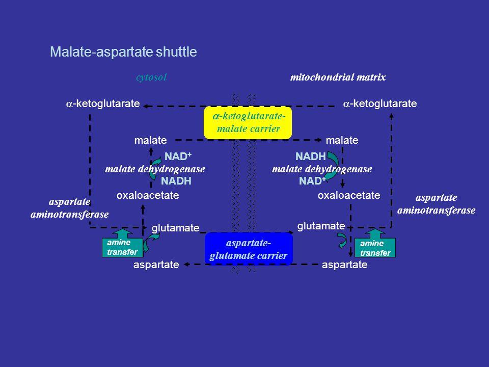 Malate-aspartate shuttle  -ketoglutarate- malate carrier oxaloacetate malate oxaloacetate mitochondrial matrixcytosol aspartate- glutamate carrier aspartate glutamate amine transfer NADH NAD + NADH NAD + malate dehydrogenase  -ketoglutarate aspartate aminotransferase aspartate amine transfer glutamate  -ketoglutarate aspartate aminotransferase