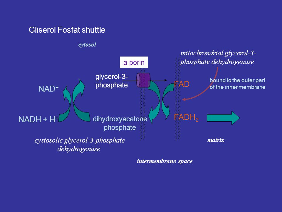 Gliserol Fosfat shuttle NAD + NADH + H + glycerol-3- phosphate dihydroxyacetone phosphate FAD FADH 2 cystosolic glycerol-3-phosphate dehydrogenase mitochrondrial glycerol-3- phosphate dehydrogenase bound to the outer part of the inner membrane a porin cytosol intermembrane space matrix