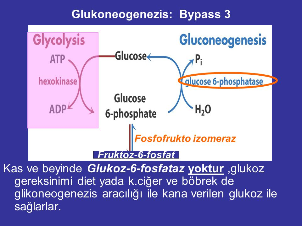 Glukoneogenezis: Bypass 3 Kas ve beyinde Glukoz-6-fosfataz yoktur,glukoz gereksinimi diet yada k.ciğer ve böbrek de glikoneogenezis aracılığı ile kana verilen glukoz ile sağlarlar.