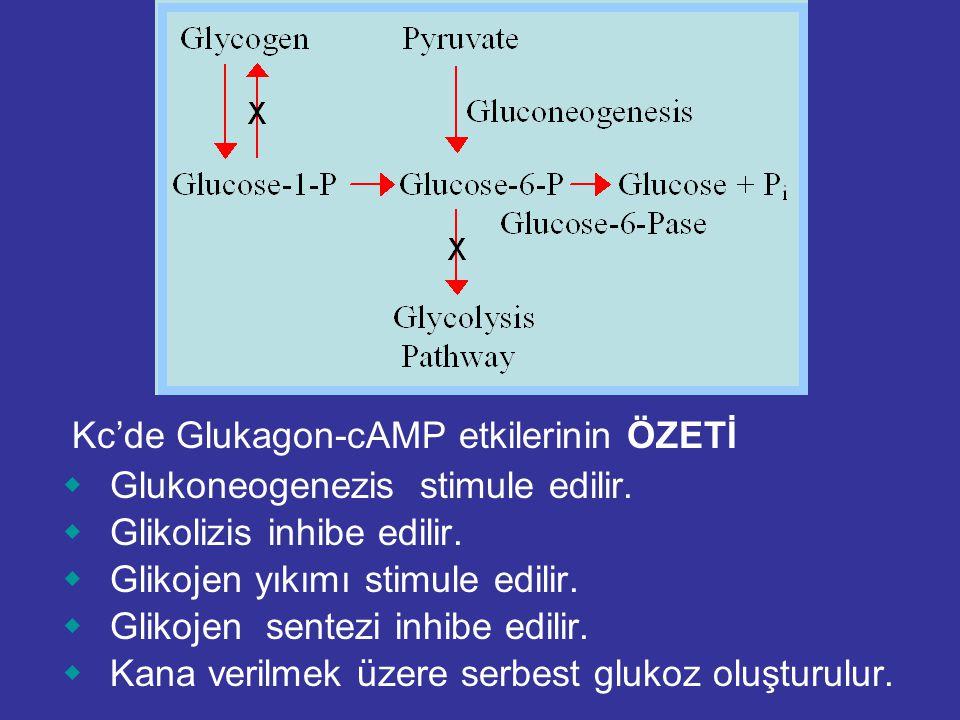 Kc'de Glukagon-cAMP etkilerinin ÖZETİ  Glukoneogenezis stimule edilir.