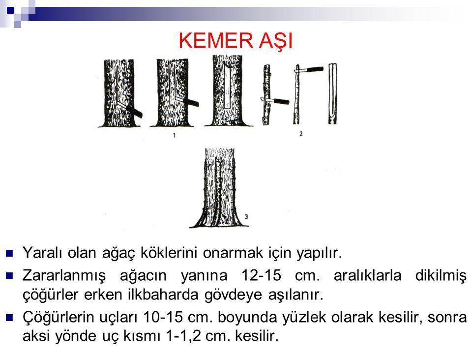 Ağacın gövdesinde, çöğürün üzerindeki kesite göre(10-15 cm.) kabuk çıkartılarak, yüzlek bir oyuk açılır.