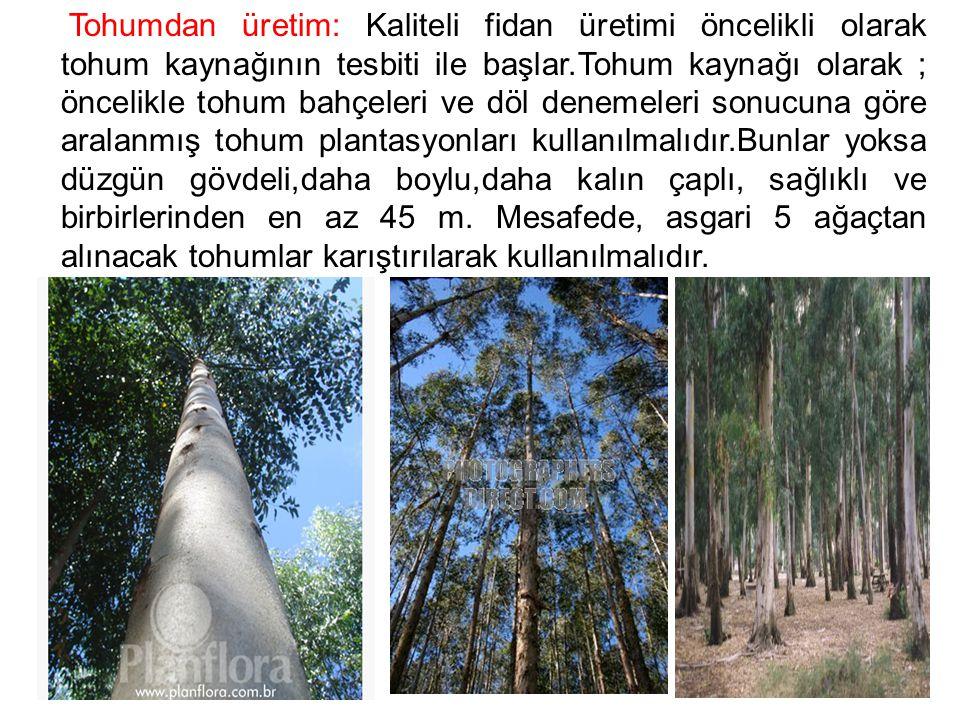 Kozalak toplama Eucalyptus Grandis'de nisan, Eucalyptus Camaldulensis' de eylül aylarından sonra olur.
