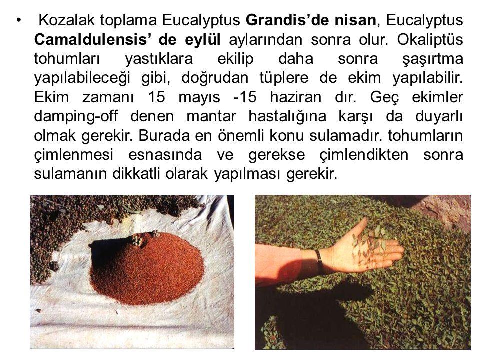1 kğ.E. Cameldulensis türünde 773 000 adet, E. Grandis türünde de 630 000 adet tohum var.