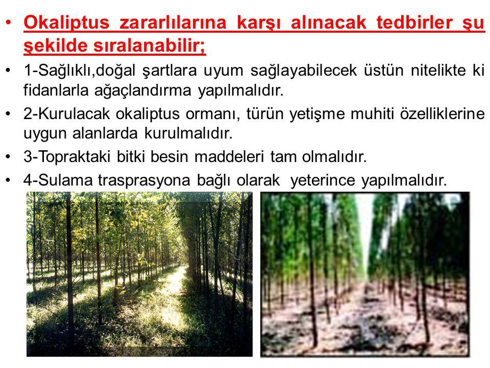 5-okaliptus ormanı içinde kesilmiş gövde, fırtına devriği ve kırıkları, herhangi bir sebeple zayıf düşmüş, cılız, hastalıklı ve ölmekte olan fertler alandan en kısa zamanda çıkarılmalıdır.
