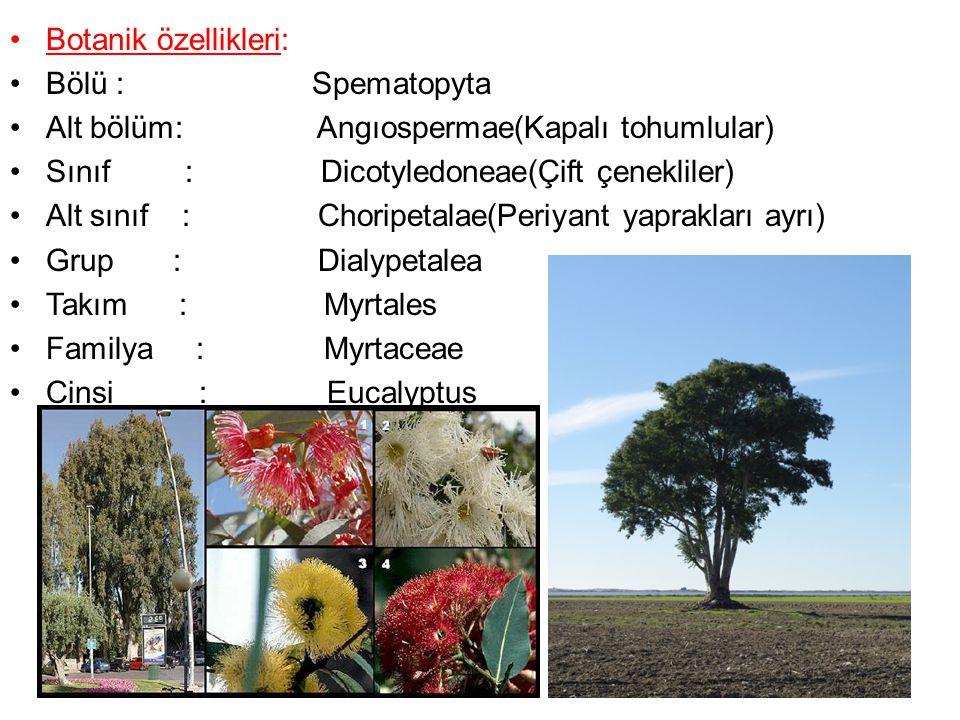 Okaliptüslerin; Yaprak şekilleri, vejetatif tomurcukları, çiçek tomurcukları, tomurcuklarındaki operkulum ile odunsu meyveleri en önemli özelliklerindendir.
