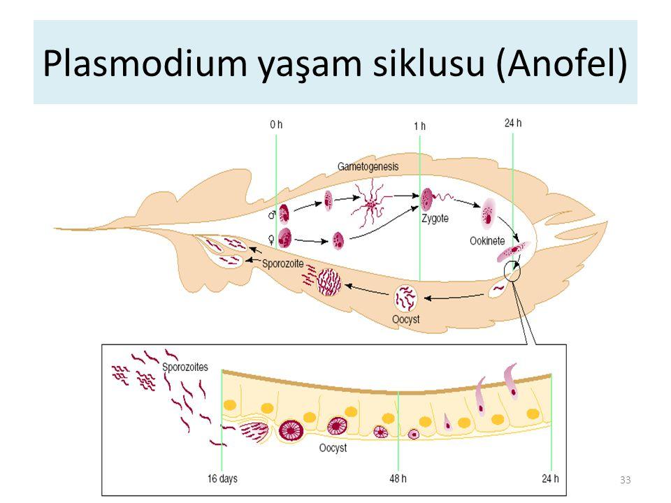 Paraziter reseptörler-ligandlar 34 EvreParaziter proteinHücresel protein Sporozoitlerin hepatositlere girişi Sirkumsporozoit protein Heparansülfat içeren proteoglikanlar, LDL-r P.vivax eritrosite giriş Pv 135Duffy faktör P.falciparum eritrosite giriş Eritrosit bağlayıcı antijen (EBA)175 Glikoforin A P.Falciparum enfekte eritrosit rozetleşmesi PfEMP 1Kompleman reseptörü 1 P.falciparum ile enfekte hücrelerin diğer hücrelere yapışması PfEMP 1Trombospondin, CD 36, ICAM-1, VCAM-1, ELAM-1, E-selectin
