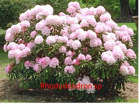 Rhododendron sp..