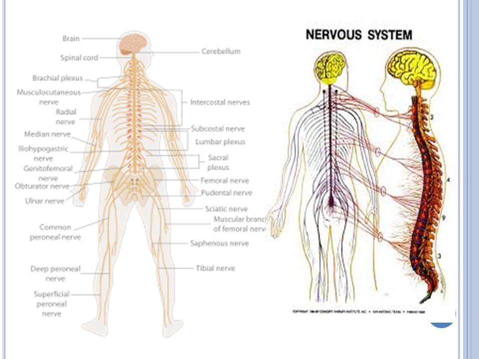 NÖRONLAR Sinir sistemini meydana getiren hücrelere nöron denir.