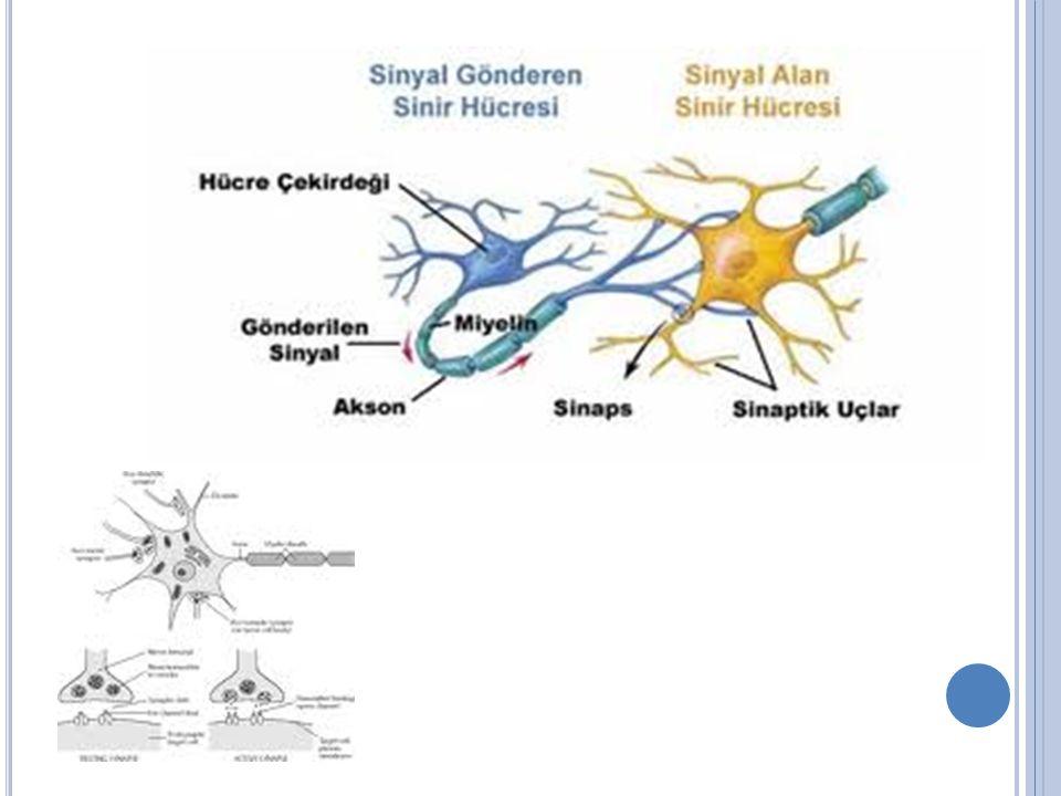 Uyarılmalar sonucu meydana gelen sinir akımları nöronun yapısındaki geçici değişiklikler meydana getirir.