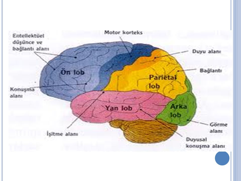 2.TALAMUS VE HİPOTALAMUS Omurilik soğanının üst kısmı ile beynin iki yarımküresi arasında gömülü durumda bulunan talamus organı vardır.