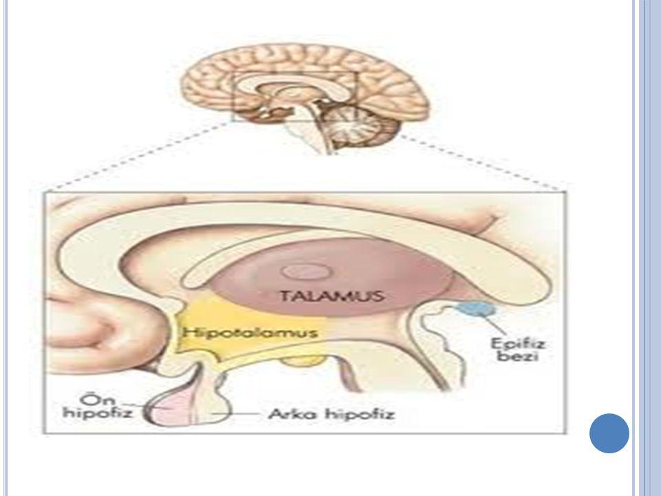 Hipotalamus metabolik çalışmanın beden ısısını düzene koyan otonom fonksiyonların merkezi olduğu anlaşılır.