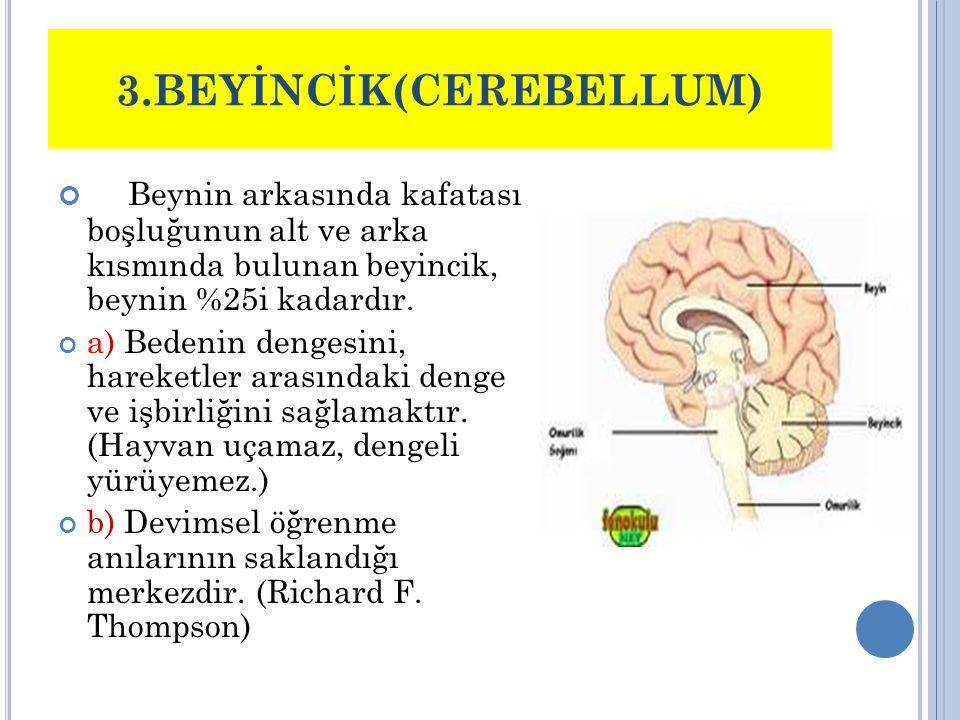 4)BEYİN SOĞANI Omuriliğin beyin içine girmiş bir kısmıdır 2 çift kafatası siniri son 7 çift ile solunum aygıtına ait sinirler, beyin soğanından çıkar.