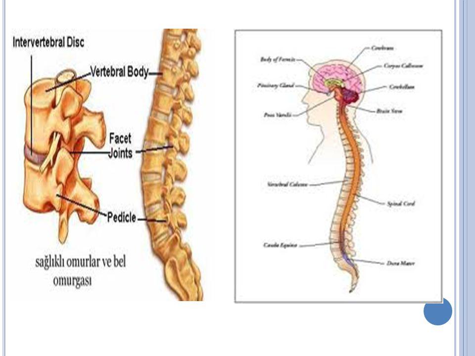 SİNİRLER Genellikle sinir iplikçikleri bir ipte olduğu gibi birleşerek kalın kordonlar meydana getirir.