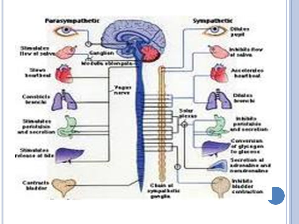 TEPKİ MEKANİZMALARI Endokrin Sistemi: Sinir sisteminin sağlıklı olması bedendeki öteki organ ve sistemlerin iyi çalışmasına bağlıdır.Bu sistemin beslenmesi için lüzumsuz maddelerin dışarı atılması gerekir.
