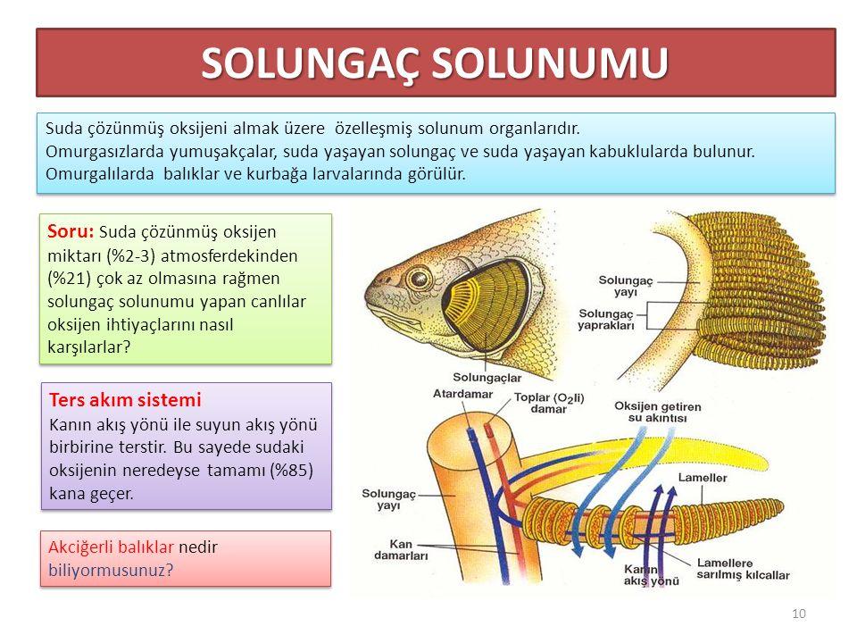 SOLUNGAÇ SOLUNUMU Suda çözünmüş oksijeni almak üzere özelleşmiş solunum organlarıdır.