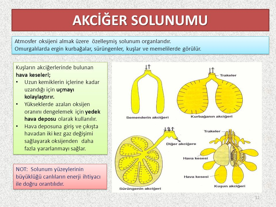 AKCİĞER SOLUNUMU Atmosfer oksijeni almak üzere özelleşmiş solunum organlarıdır.