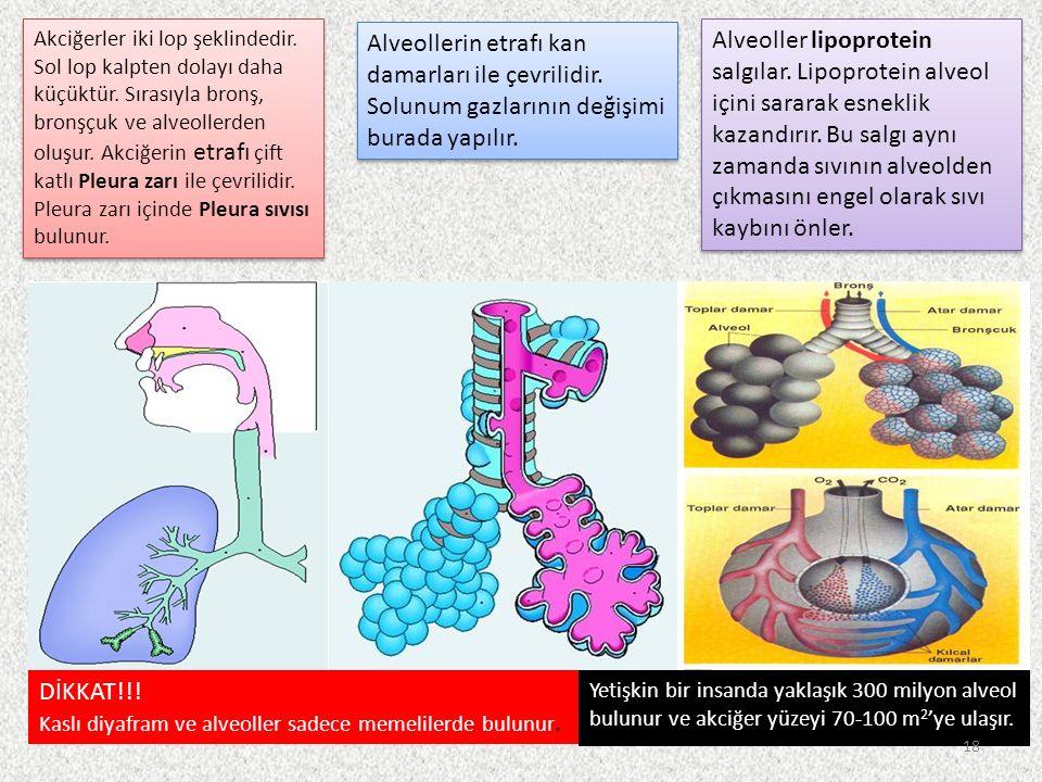 Akciğerler iki lop şeklindedir. Sol lop kalpten dolayı daha küçüktür