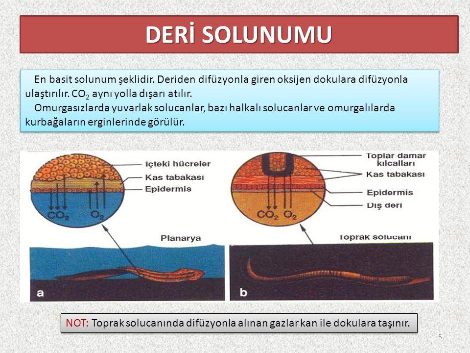 DERİ SOLUNUMU En basit solunum şeklidir. Deriden difüzyonla giren oksijen dokulara difüzyonla ulaştırılır. CO2 aynı yolla dışarı atılır.