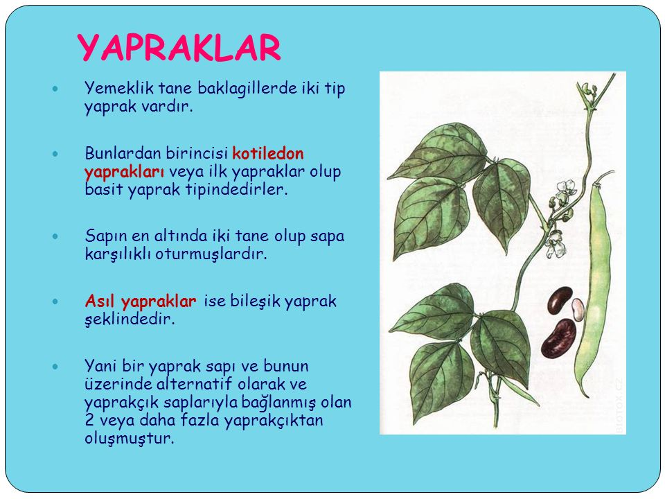 YAPRAKLAR Yemeklik tane baklagillerde iki tip yaprak vardır.