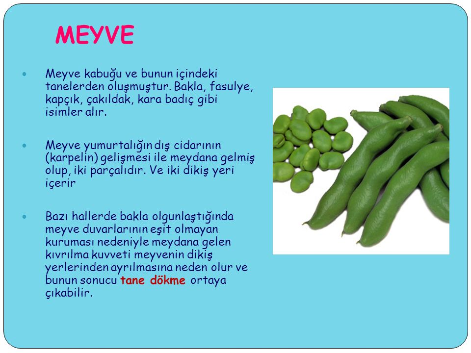 MEYVE Meyve kabuğu ve bunun içindeki tanelerden oluşmuştur. Bakla, fasulye, kapçık, çakıldak, kara badıç gibi isimler alır.