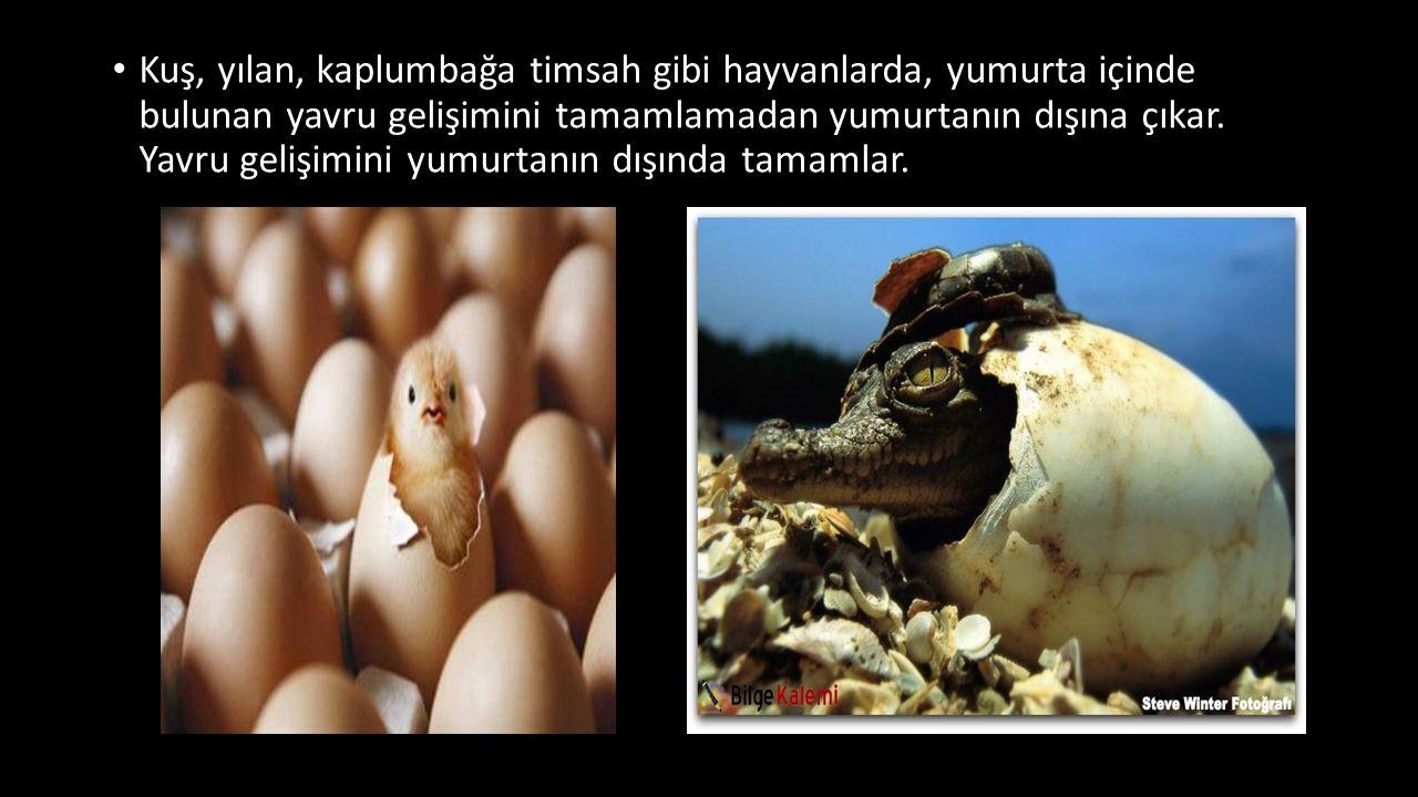 Kuş, yılan, kaplumbağa timsah gibi hayvanlarda, yumurta içinde bulunan yavru gelişimini tamamlamadan yumurtanın dışına çıkar.