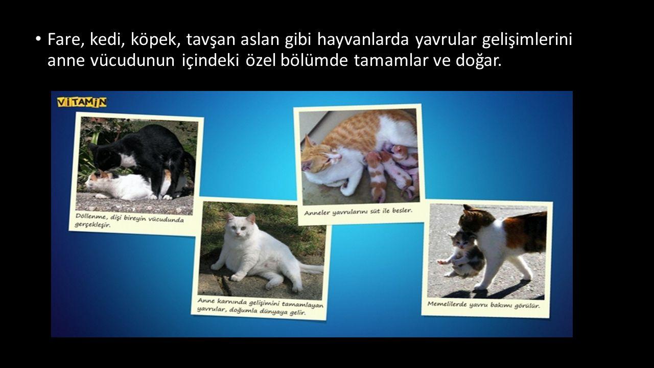 Fare, kedi, köpek, tavşan aslan gibi hayvanlarda yavrular gelişimlerini anne vücudunun içindeki özel bölümde tamamlar ve doğar.
