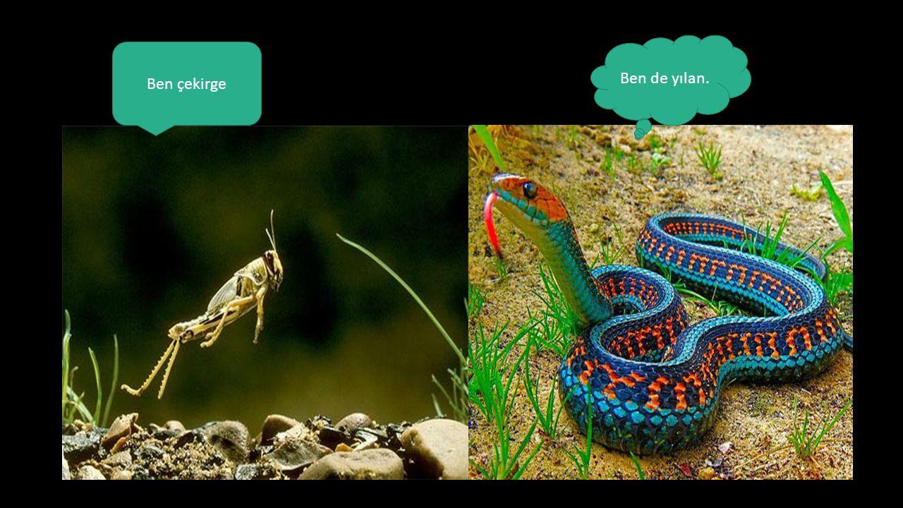 Ben de yılan. Ben çekirge