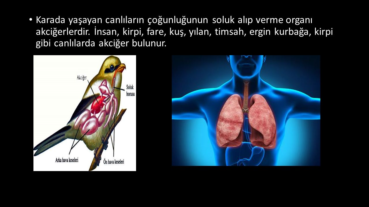 Karada yaşayan canlıların çoğunluğunun soluk alıp verme organı akciğerlerdir.