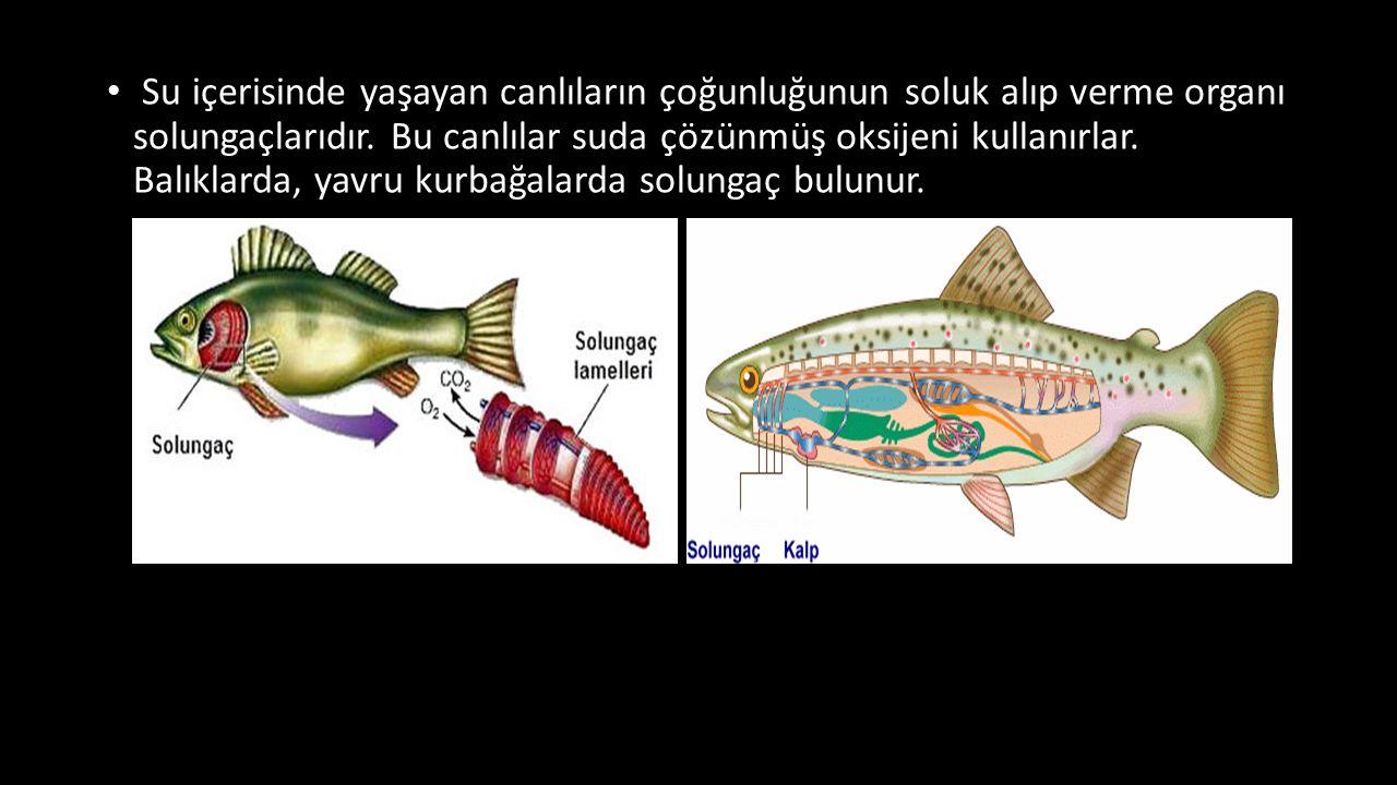 Su içerisinde yaşayan canlıların çoğunluğunun soluk alıp verme organı solungaçlarıdır.