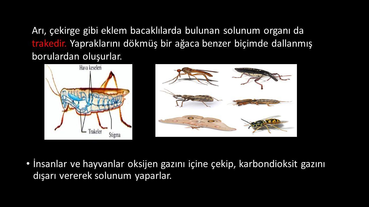 Arı, çekirge gibi eklem bacaklılarda bulunan solunum organı da trakedir. Yapraklarını dökmüş bir ağaca benzer biçimde dallanmış