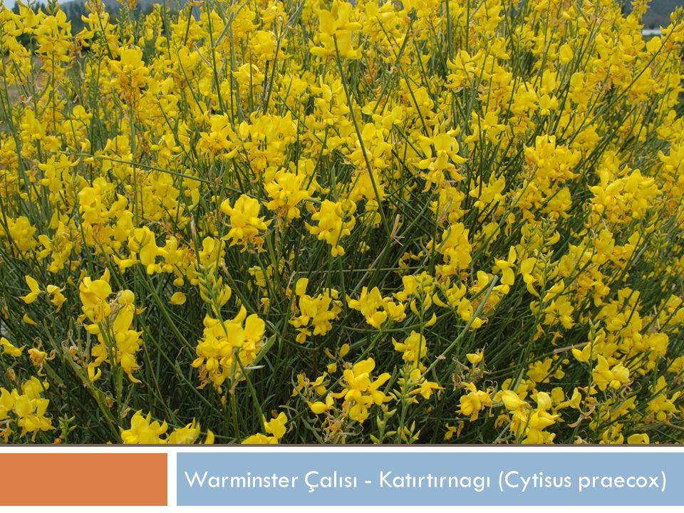 Warminster Çalısı - Katırtırnagı (Cytisus praecox)