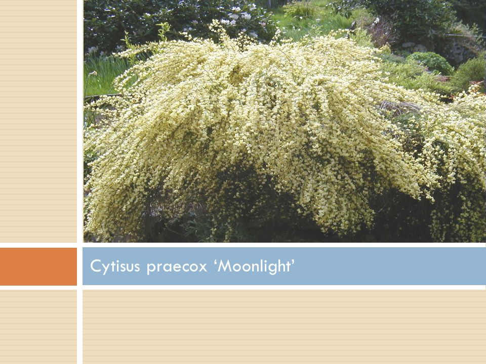 Cytisus praecox 'Moonlight'