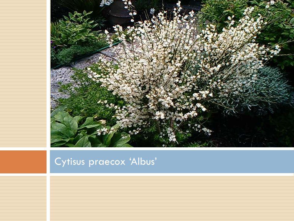 Cytisus praecox 'Albus'