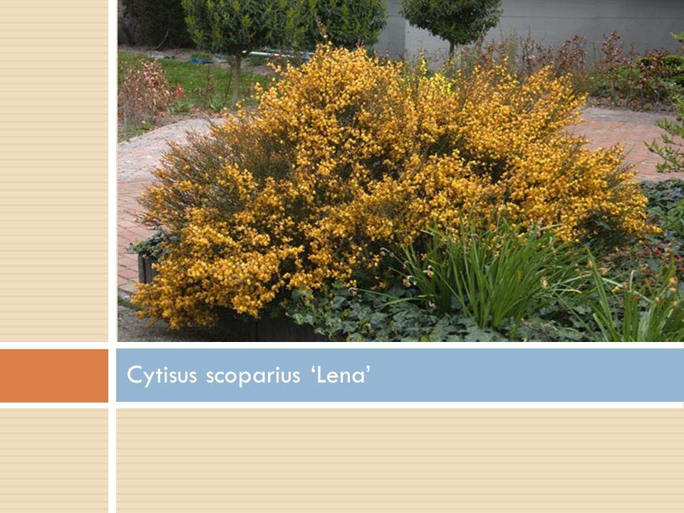 Cytisus scoparius 'Lena'