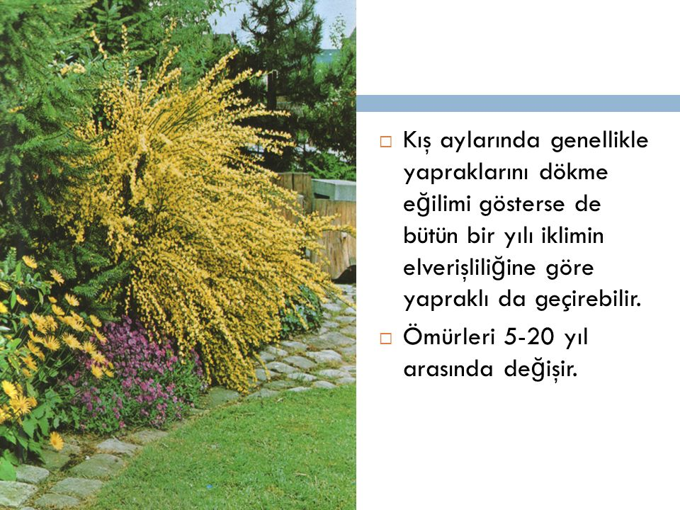 Kış aylarında genellikle yapraklarını dökme eğilimi gösterse de bütün bir yılı iklimin elverişliliğine göre yapraklı da geçirebilir.